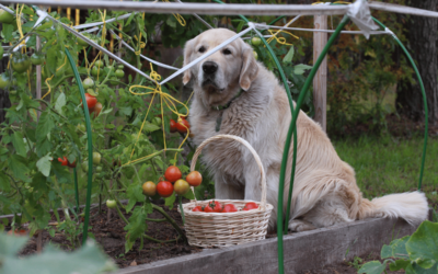 Can Dog Eat Tomatoes