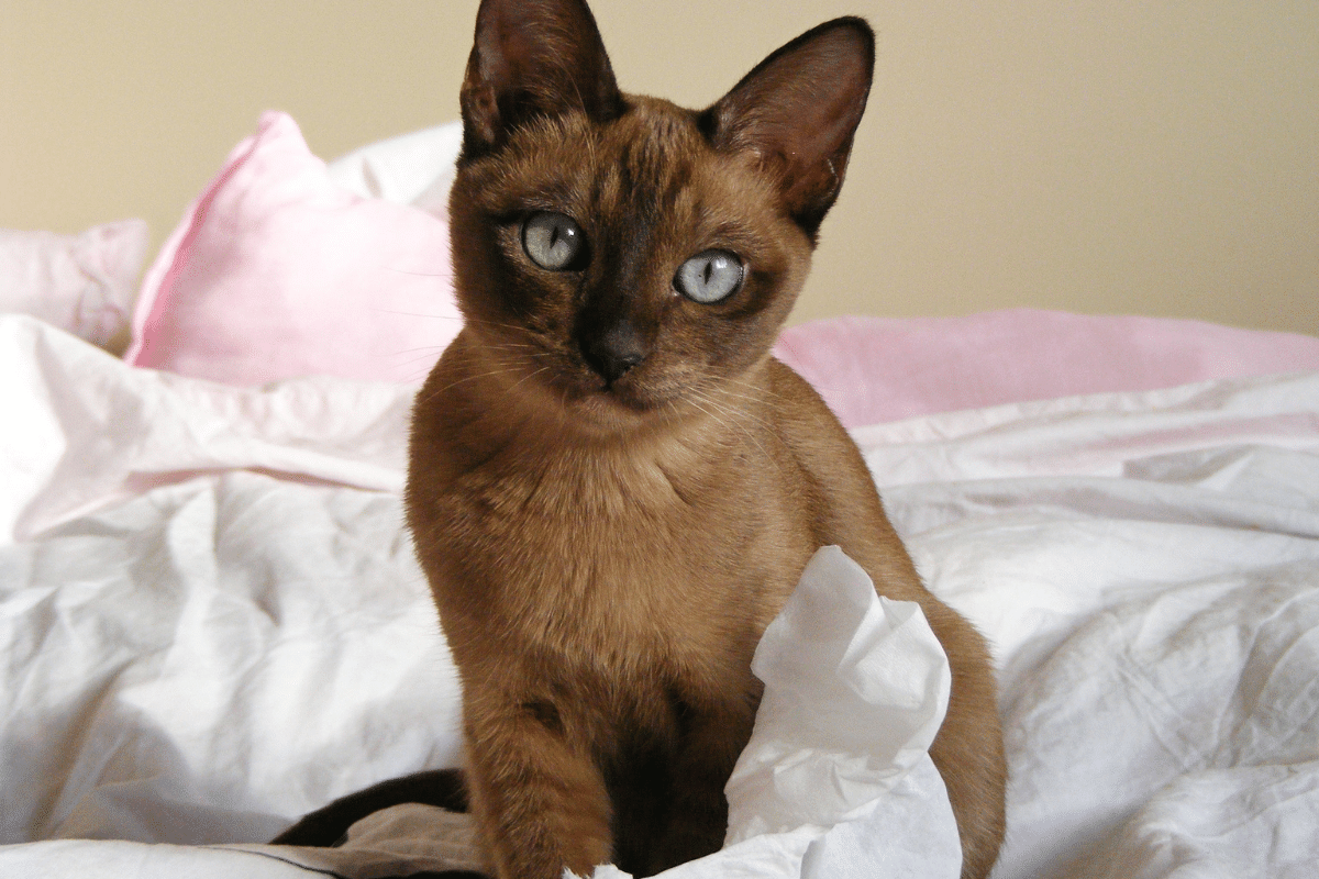 Tonkinese cats that dont shed